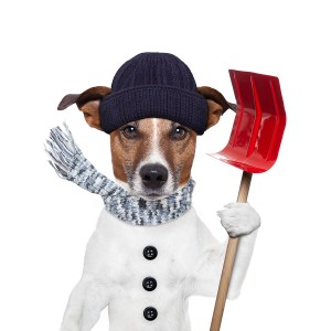 bigstock-Winter-Dog-Shovel-Snow-36814016